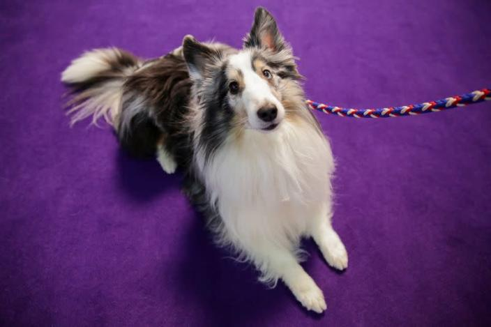 Callie Wolf, a collie dog sits ahead of participating in the Masters Agility Championship during the Westminster Kennel Club Dog Show in New York