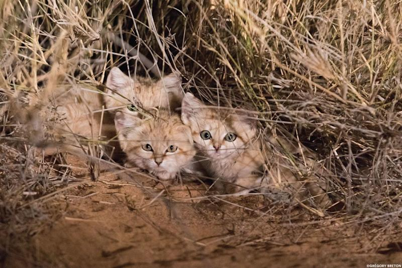 Wild sand kittens in the Moroccan Sahara.