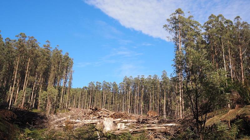 MOUNTAIN ASH FOREST COLLAPSE