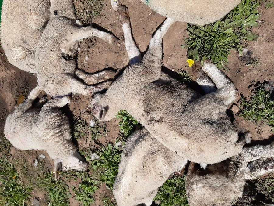 Police are investigating after the bodies of 18 dead lambs were found at a farm in Warsop. (Nottinghamshire Police)