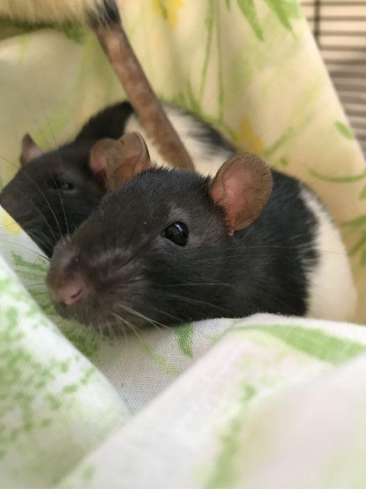 Two rats spending time together at the San Diego Humane Society. (Photo: San Diego Humane Society)