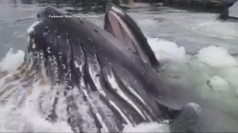 Humpback Whale's Dramatic Entrance Captured on Video