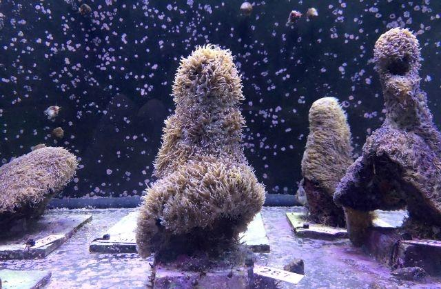 Scientists reproduce coral in lab, offering hope for reefs