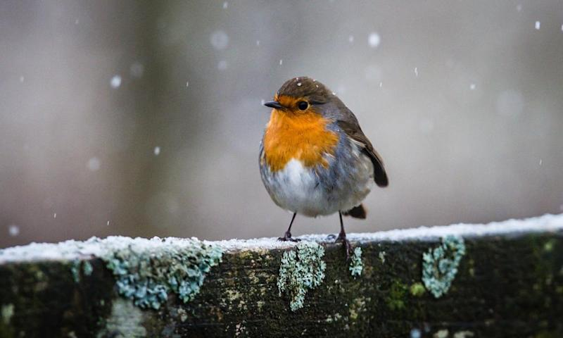 A robin in cold weather