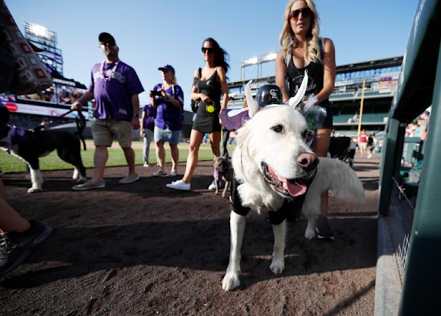 """Dressed in Colorado Rockies regalia, Charlie walks on the warning track during the """"bark in the park"""" promotion before the start of a baseball game between the Rockies and the Arizona Diamondbacks Tuesday, Aug. 13, 2019, in Denver. (AP Photo/David Zalubowski)"""