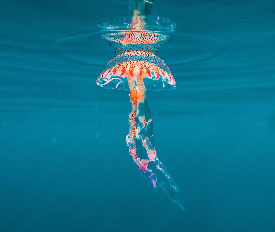 <p>The semi-translucent pelagia noctiluca jellyfish floats near the surface of the Mediterranean Sea.</p>
