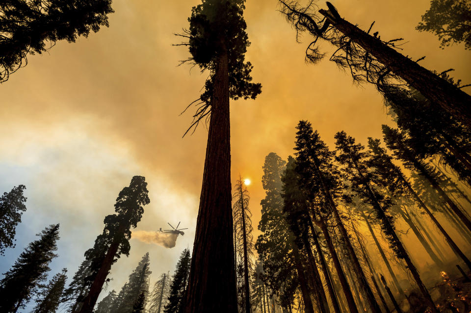 A helicopter drops water on the Windy Fire burning in the Trail of 100 Giants grove of Sequoia National Forest, Calif., on Sunday, Sept. 19, 2021. Flames scorched at least two sequoia trees as firefighters worked to defend the grove. (AP Photo/Noah Berger)