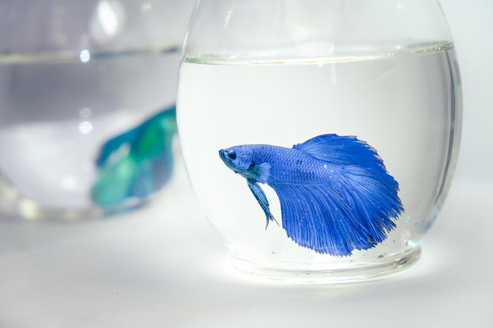 Betta fish in glass bowls.