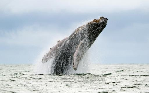 Whaling nations vote down bid for South Atlantic sanctuary