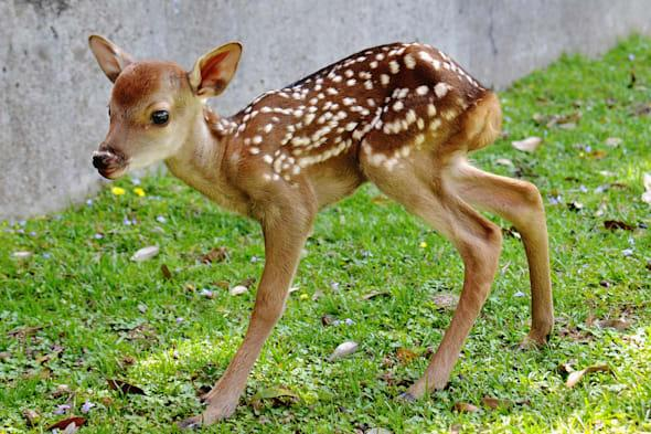 New Baby Deer Born In Nara