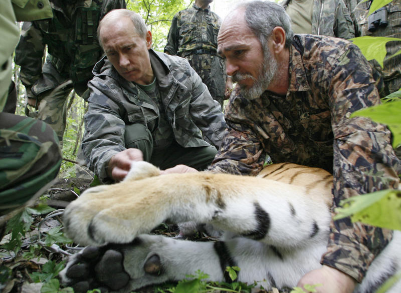 In this Sunday, Aug. 31, 2008 file photo Prime Minister Vladimir Putin, left, looks at the tranquilized five-year-old Ussuri tiger as researchers put a collar with a satellite tracker on the animal in a Russian Academy of Sciences reserve in Russia's Far East. Russia's animal-loving leader Vladimir Putin has been accused of staging his famous encounter with a tigress three years ago. St. Petersburg-based environmentalist Dmitry Molodtsov says that photos of the animal that Putin tagged with a GPS collar in 2008 and subsequent images of what preservationists claimed was the same tigress in fact showed two different animals, indicating that Putin's tigress never was let out into the wild. (AP Photo/RIA-Novosti, Alexei Druzhinin, Pool, file)
