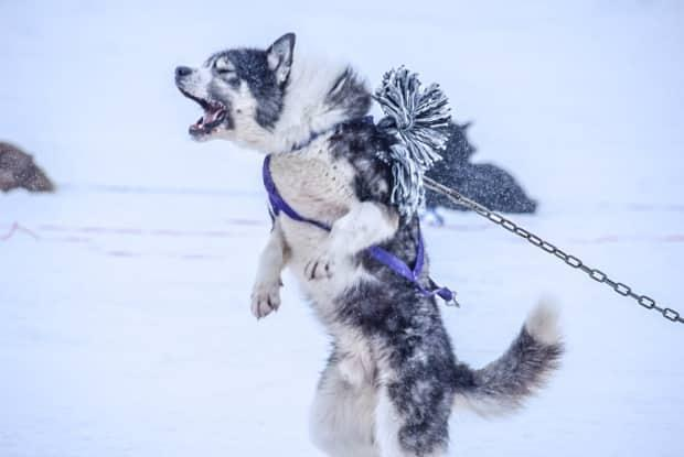 An impatient dog leaps at the start line of the Ivakkak race. Rough conditions caused by winter storms meant organizers brought a number of dog teams to checkpoints by snowmobile at several points in the race.