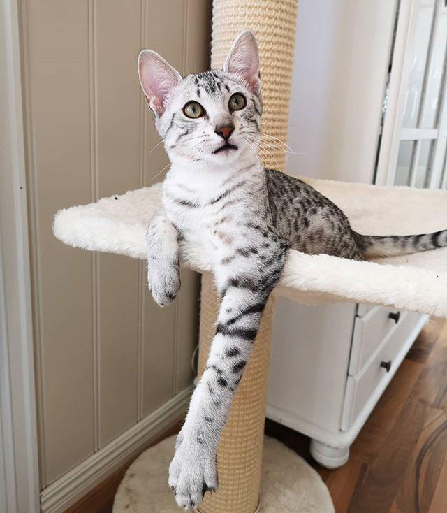 """<p>The color of the Egyptian Mau's spotted coat varies from cat to cat, but the cuteness level remains the same. And on top of their eye-catching fur, the Egyptian Mau has beautiful, bright green eyes. So freakin' regal!</p><p><a href=""""https://www.instagram.com/p/B9_KmGHp5LI/?utm_source=ig_web_button_share_sheet"""" rel=""""nofollow noopener"""" target=""""_blank"""" data-ylk=""""slk:See the original post on Instagram"""" class=""""link rapid-noclick-resp"""">See the original post on Instagram</a></p>"""