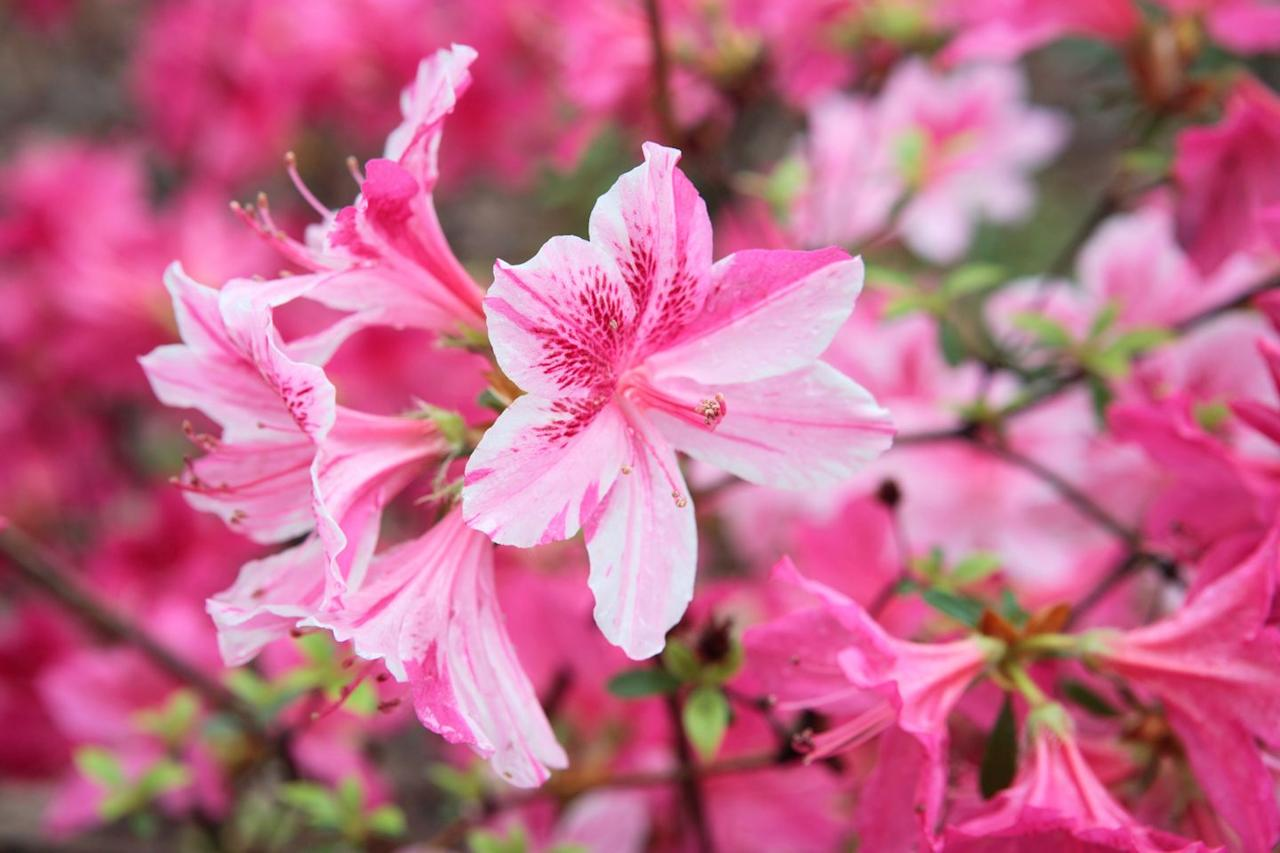 """<p><strong>Scientific Name:</strong> <em>Rhododendron spp</em></p><p><a href=""""https://www.aspca.org/pet-care/animal-poison-control/toxic-and-non-toxic-plants/azalea"""" target=""""_blank"""">These flowering shrubs</a>  can cause severe gastrointestinal problems, heart arrhythmias, and problems with the central nervous system if ingested, according to Dr. Coates. </p>"""