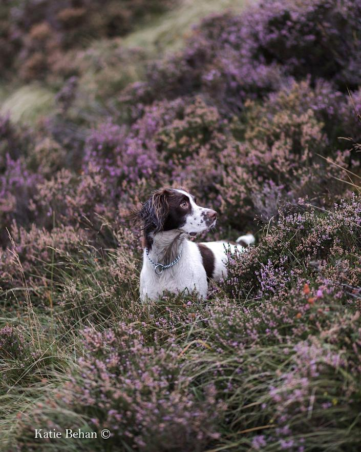 <p>Belle, an English Springer Spaniel, has been photographed exploring the fells of Buttermere in the Lake District. </p>