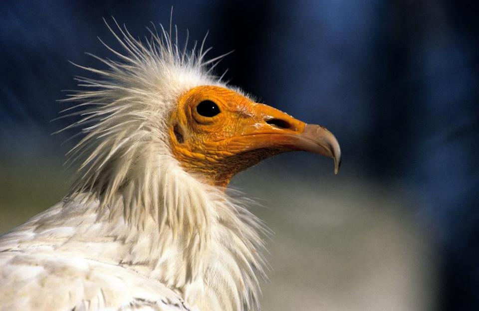 An Egyptian vulture (Neophron percnopterus).