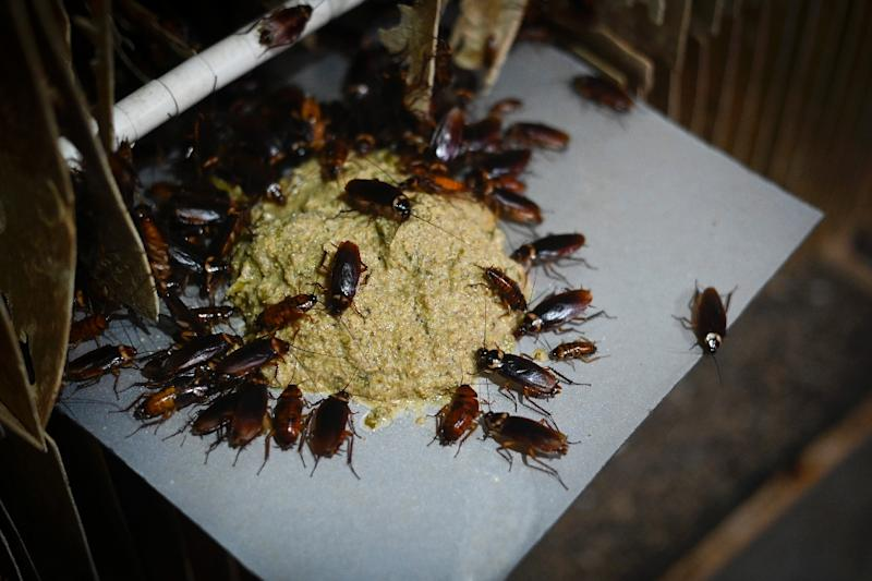 "In China cockroaches are dubbed ""Little Strong"" because they can live for days even after being cut in half (AFP Photo/WANG ZHAO)"