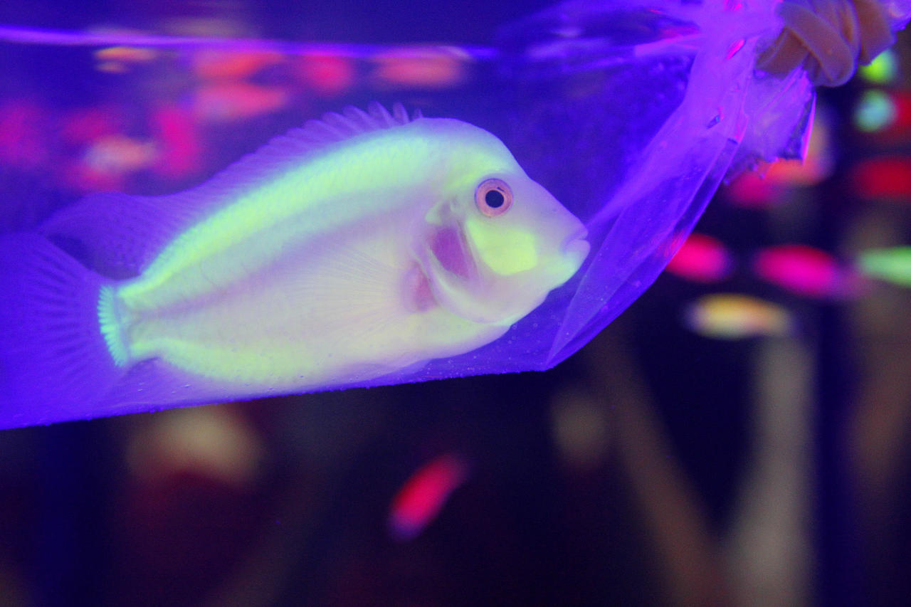 A genetically engineered Convict Cichlids (Amatitlania nigrofasciata) glows in a plastic bag inside a water tank during a new conference in Taipei, October 28, 2010. The news conference was held to promote the upcoming 2010 Taiwan International Aquarium Expo which will be held at Taipei World Trade Centre from October 29 to November 1. REUTERS/Pichi Chuang
