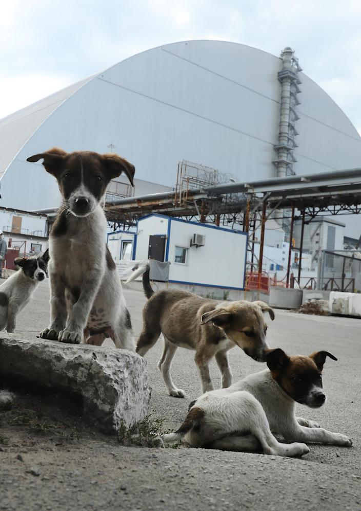 """<p>Stray dogs loiter inside the high-security """"local zone"""" outside the giant new enclosure that covers devastated reactor number four at the Chernobyl nuclear power plant on Aug. 18, 2017, near Chernobyl, Ukraine. (Photo: Sean Gallup/Getty Images) </p>"""