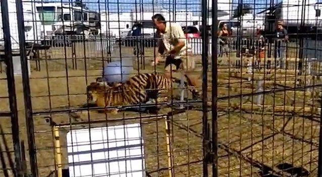 The tiger was whipped by a trainer in an enclosure in Florida. Photo: Scott Caputo/ YouTube