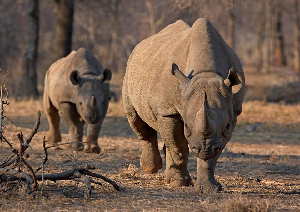 Biodiversity reigns supreme at iSimangaliso Wetland Park, and among the savannah you might find roaming black rhinos