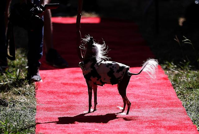 <p>A Chinese crested dog named Rascal stands on the red carpet during the 2017 World's Ugliest Dog contest at the Sonoma-Marin Fair on June 23, 2017 in Petaluma, Calif. (Photo: Justin Sullivan/Getty Images) </p>