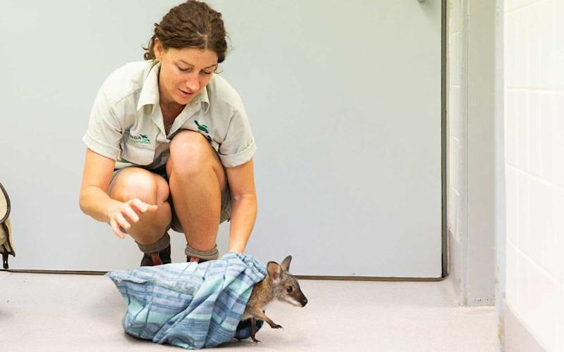 Taronga Zoo's Vet nurse Fle Evans releases a Red-Necked Wallaby joey from its pouch during a tour of the Taronga Zoo's Wildlife Hospital at Taronga Zoo on January 14, 2020 in Sydney, Australia. The Federal Government has granted $1 million to support ongoing efforts to help conservation-based zoos like Taronga care for injured and displaced wildlife in the wake of the ongoing bushfire crisis in Australia. | Jenny Evans/Getty Images