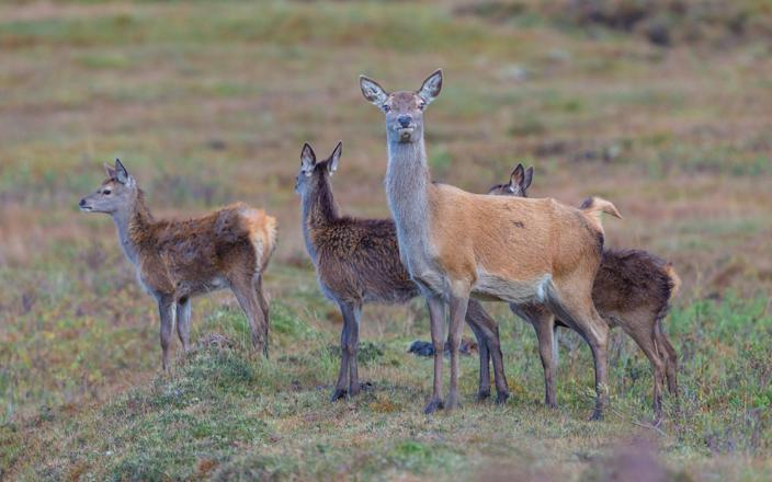 Red deer hind or doe with three fawns at foot in the Highlands - Coatsey / Alamy Stock Photo
