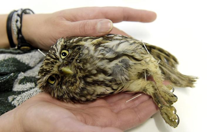 """A """"Little owl"""", or Athene Noctua receives acupuncture treatment at Brinzal, an owl-rescue charity based in a park in the west of Madrid, on November 25, 2014 (AFP Photo/Gerard Julien)"""