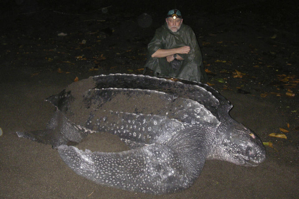 In this December 2006 photo provided by Karin Forney, is Scott Benson, an ecologist and leatherback turtle expert with the National Oceanic and Atmospheric Administration Fisheries Service, posing with a female western Pacific leatherback turtle on a nesting beach on Santa Isabel Island in the Solomon Islands. All seven distinct populations of leatherbacks in the world are troubled, but a new study shows an 80% population drop in just 30 years for one extraordinary sub-group that migrates 7,000 miles across the Pacific Ocean to feed on jellyfish in cold waters off California. Scientists say international fishing and the harvest of eggs from nesting beaches in the western Pacific are to blame. (Karin Forney via AP)