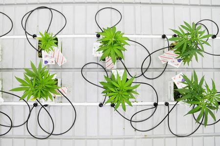 Small marijuana plants grow in a lab at the new Commercial Cannabis Production Program at Niagara College in Niagara-on-the-Lake, Ontario, Canada, October 9, 2018. REUTERS/Carlos Osorio