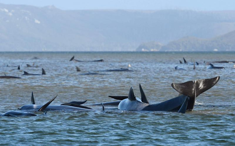 About a third of the stranded whales are believed to have died - GETTY IMAGES