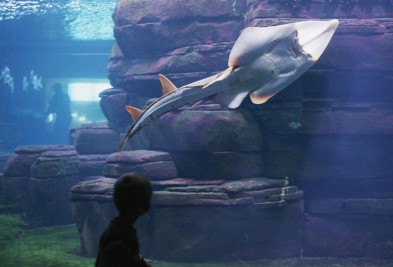 A little boy looks at Rhinobatos armatus, also known as a guitarfish, swim past in a tank at the Berlin Aquarium November 27, 2004 in Berlin, Germany. | Sean Gallup—Getty Images