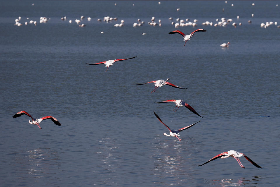 Flamingos fly over a salt lake in the southern coastal city of Larnaca, in the eastern Mediterranean island of Cyprus, Sunday, Jan. 31, 2021. Conservationists in Cyprus are urging authorities to expand a hunting ban throughout a coastal salt lake network amid concerns that migrating flamingos could potentially swallow lethal quantities of lead shotgun pellets. (AP Photo/Petros Karadjias)