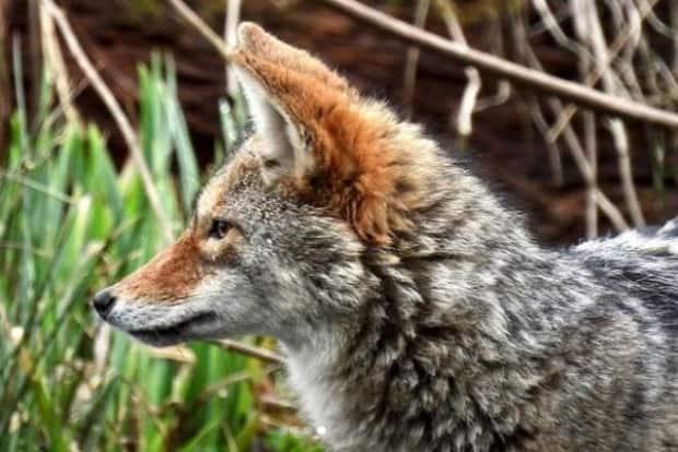 This coyote was seen near Lost Lagoon in April 2021 in Vancouver's Stanley Park. (Tingmiaq/Instagram - image credit)