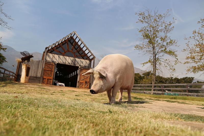 Pigcasso, a rescued pig, goes for a walk after painting at the Farm Sanctuary in Franschhoek, outside Cape Town, South Africa. (Photo: Sumaya Hisham/Reuters)