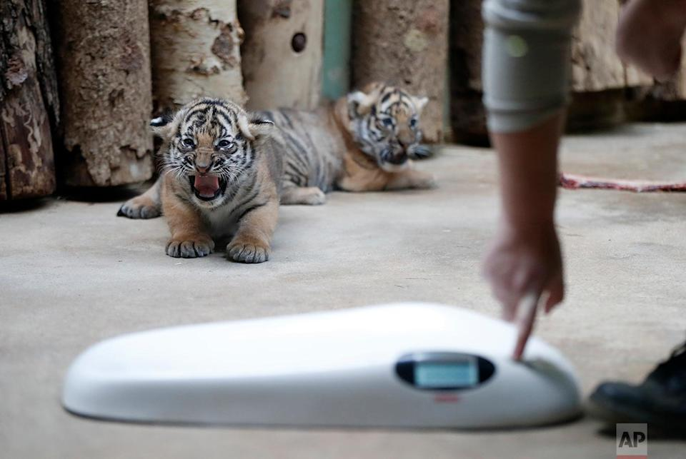 <p>Two cubs of critically endangered Malayan tigers are about to be weighed in their enclosure at the zoo in Prague, Czech Republic. The two cubs, a male and a female, were born on Oct 3, 2017. So far, only two European zoos managed to breed this subspecies of tiger, last time the zoo in Halle, Germany in 2013. (AP Photo/Petr David Josek) </p>