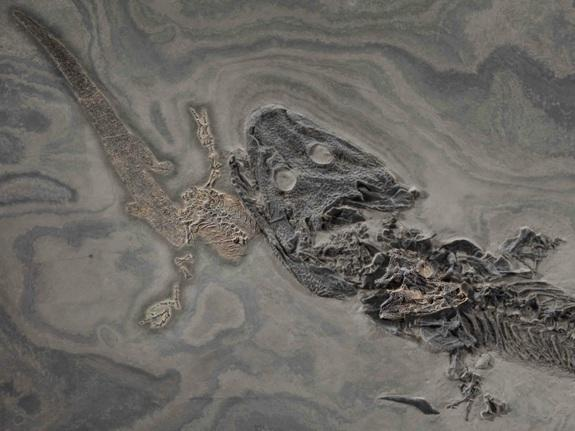 Fossil of Ancient Amphibian Choking on Last Meal Up for Auction