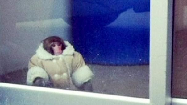 """Darwin the """"IKEA monkey"""" is headed for a new home at a primate sanctuary near Toronto.   His owner, Yasmin Nakhuda, gave him up to the authorities after he was found wandering round the car park of the furniture store in the city after it had broken out from a crate and her parked car.   Shoppers fascinated by the fully clothed creature filmed Darwin and uploaded the images on to Twitter where he became an internet sensation.  Yasmin Nakhuda was fined for breaking Toronto's prohibited animal bylaw. She said she had owned the monkey for five months after being lent the animal by an acquaintance who later said he did not want it back.  """"There was no harm, it was all love,"""" she said."""