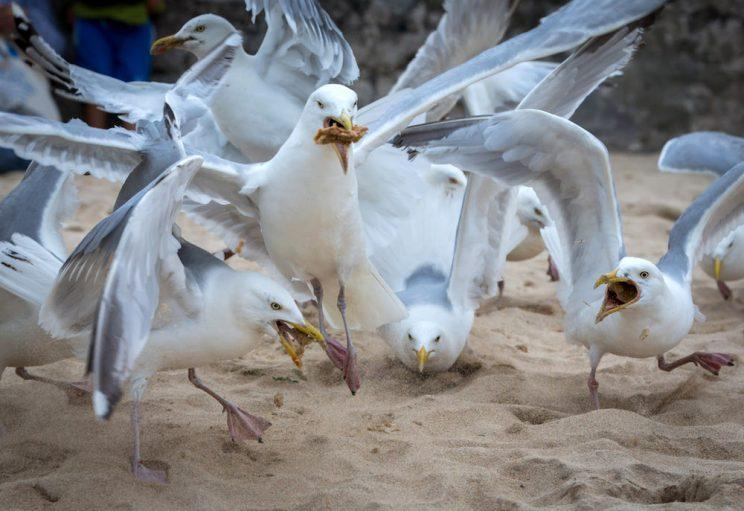 Fines have been introduced to discourage people from feeding seagulls