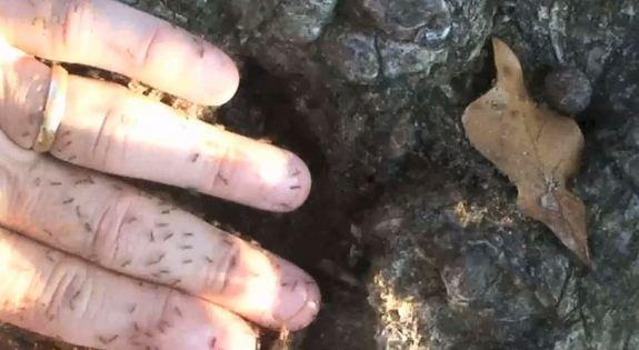 Crazy ants swarming over a man's hand. In some areas they can outnumber native ants 100-to-1.
