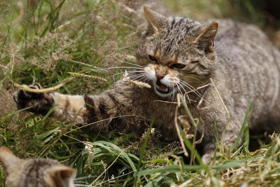 The Scottish wildcat, also known as the Highland tiger, is the only native member of the cat family still found in the wild in Britain (Bob Brind-Surch/Natures Photos)