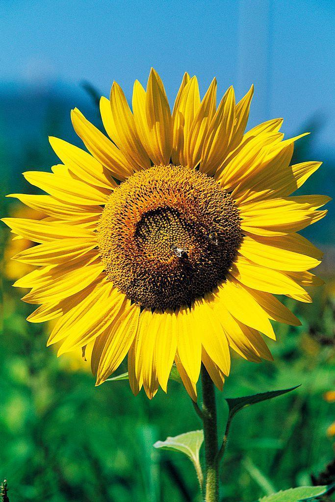 """<p>Along with brightening your garden, sunflowers have lots of nectar that can <a href=""""https://www.housebeautiful.com/lifestyle/gardening/a27545572/save-the-bees-plant-sunflowers/"""" rel=""""nofollow noopener"""" target=""""_blank"""" data-ylk=""""slk:attracts bees"""" class=""""link rapid-noclick-resp"""">attracts bees</a>. They need about six to eight hours of sunlight a day. </p><p><strong>Bloom season: </strong>Summer </p><p><a class=""""link rapid-noclick-resp"""" href=""""https://www.amazon.com/Sweet-Yards-Seed-Co-Sunflower/dp/B07N32TYT3?tag=syn-yahoo-20&ascsubtag=%5Bartid%7C10050.g.36596951%5Bsrc%7Cyahoo-us"""" rel=""""nofollow noopener"""" target=""""_blank"""" data-ylk=""""slk:SHOP SUNFLOWERS"""">SHOP SUNFLOWERS</a></p>"""