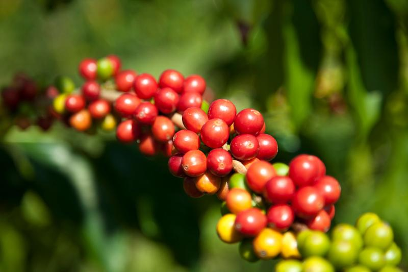 The cherries on a coffee plant don't all ripen at the same time, so small farmers have to revisit the crop several times each harvest, whereas factory farms pull the cherries from the trees all at once. (Photo: John S Lander via Getty Images)