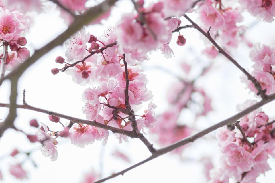 """<p>Though nice to look at, the peach blossom is a depressing reminder of <a href=""""https://statesymbolsusa.org/symbol-official-item/delaware/state-flower/peach-blossom"""" rel=""""nofollow noopener"""" target=""""_blank"""" data-ylk=""""slk:Delaware's"""" class=""""link rapid-noclick-resp"""">Delaware's</a> dethroning by Georgia as """"the Peach State.""""</p>"""