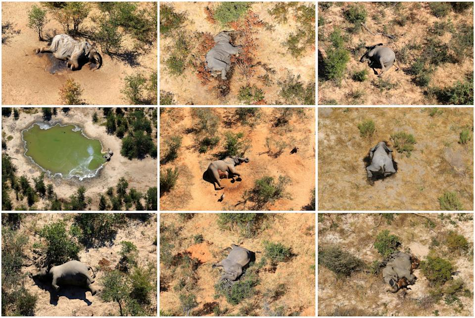 A combination photo shows dead elephants in Okavango Delta, Botswana May-June, 2020. PHOTOGRAPHS OBTAINED BY REUTERS/Handout via REUTERS ATTENTION EDITORS - THIS IMAGE HAS BEEN SUPPLIED BY A THIRD PARTY.     TPX IMAGES OF THE DAY