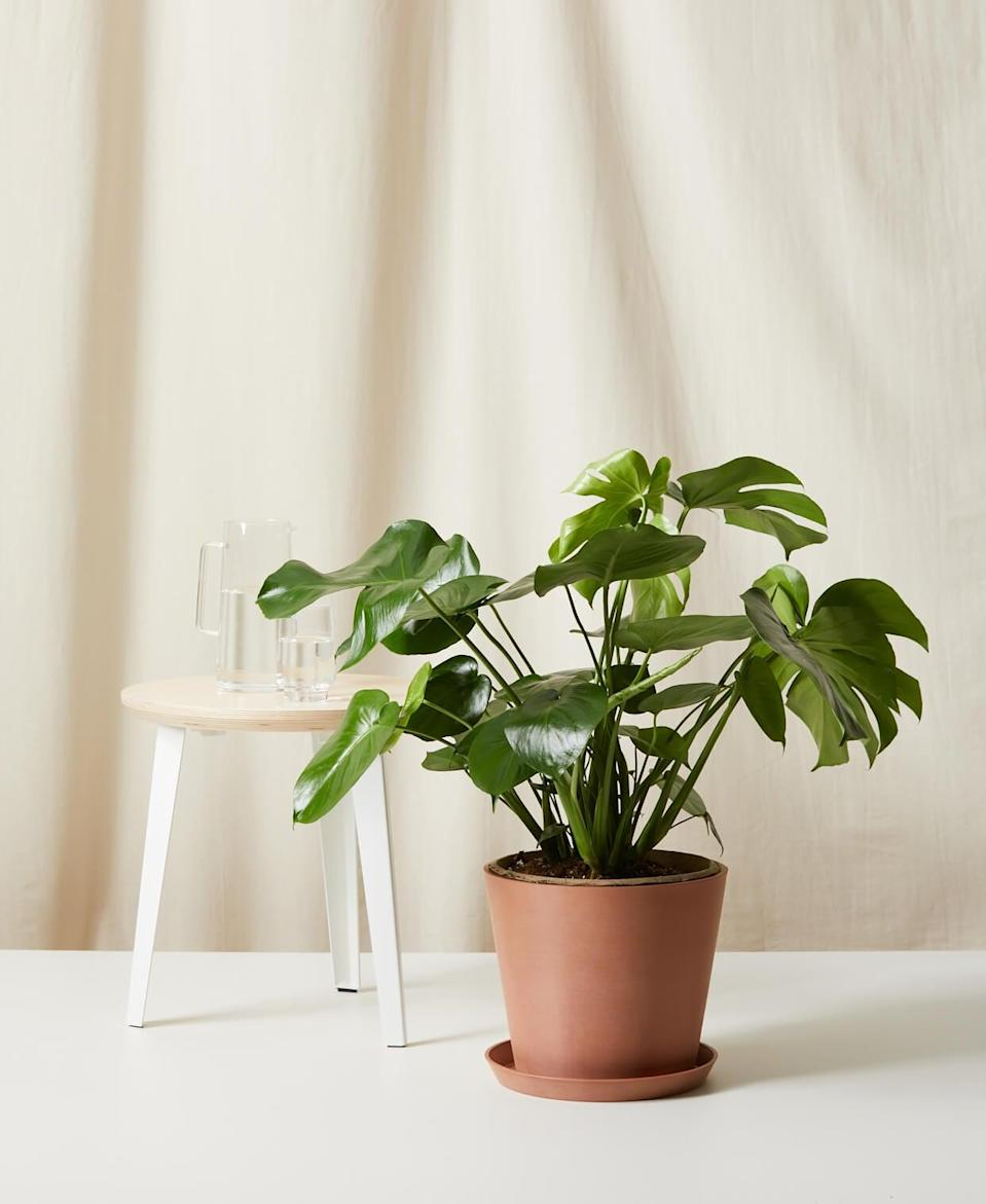 <p>Add some new life into their living room with this easy <span>Potted Monstera</span> ($150).</p>