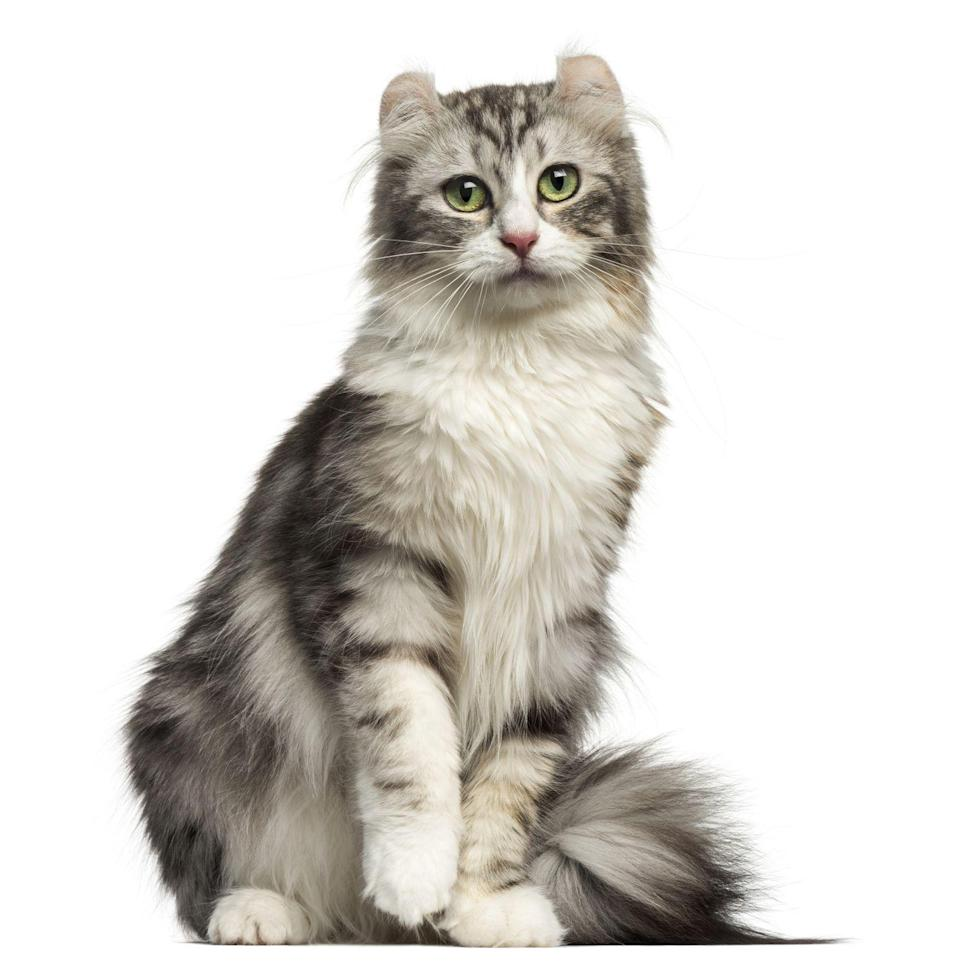 "<p>Unlike other cats, the American Curl <a href=""https://cattime.com/cat-breeds/american-curl-cats#/slide/1"" rel=""nofollow noopener"" target=""_blank"" data-ylk=""slk:doesn't need to beg for your attention"" class=""link rapid-noclick-resp"">doesn't need to beg for your attention</a> by being loud, says CatTime. One look at that sweet little face and you'll give them whatever they want.</p>"