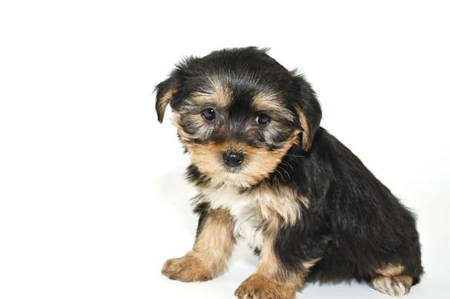 Morkie puppy that looks like he is sorry or sad about something, on a white background.