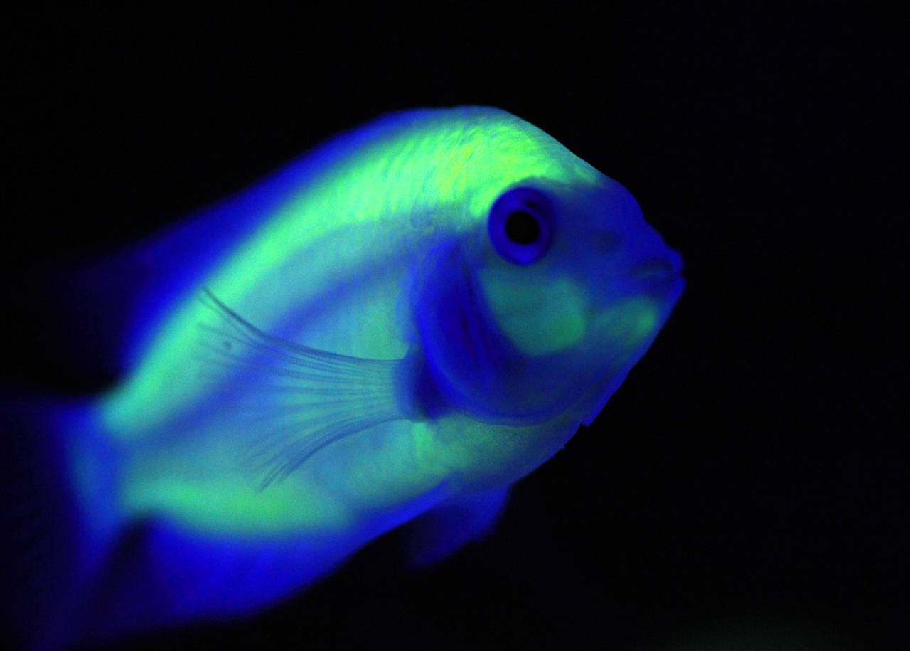 A genetically engineered Convict Cichlids (Amatitlania Nigrofasciata) glows inside a water tank while being displayed at the 2010 Taiwan International Aqua Expo in Taipei October 29, 2010. The show features award winning aquatic breeds which will be displayed at the Taipei World Trade Centre from October 29 to November 1. REUTERS/Nicky Loh